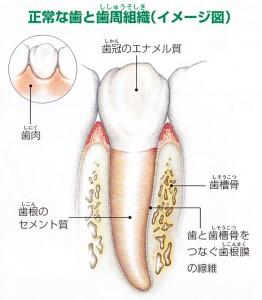 正常な歯と歯周組織